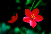 Tropical Photographs Prints - Red Petaled Dream Print by Jennifer  Bright