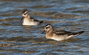 Quest Photos - Red Phalarope... by Nina Stavlund