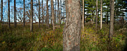 Panoramic Framed Prints - Red Pine Forest Framed Print by Steve Gadomski