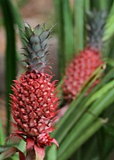 Pineapples Photos - Red Pineapples by Sabrina L Ryan