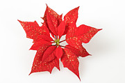 Poinsettia Leaf Posters - Red poinsettia flower Poster by Matthias Hauser