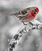 Poll Acrylic Prints - Red Poll - Cold But Hungry Acrylic Print by Thomas J Martin