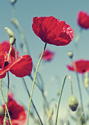 Oriental Poppy. Posters - Red Poppies Against Blue Sky Poster by SVGiles
