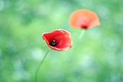Selective Focus Framed Prints - Red Poppies Framed Print by Aina photography
