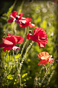 Red Petals Prints - Red poppies Print by Elena Elisseeva