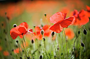 Poppy Field Posters - Red Poppies Field Poster by Jacky Parker Photography