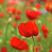 Close Focus Nature Scene Photo Posters - Red Poppies In Cornfield Poster by Kees Smans