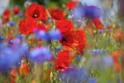 Wild Flower Art - Red Poppies in the Maedow by Heiko Koehrer-Wagner