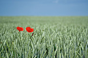 Poppy Field Posters - Red Poppy Flower And Buds In Field Poster by Photographs by Gabor Szello