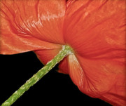 Signed Photo Prints - Red Poppy Flower on Black Background Print by Carol F Austin