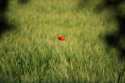 Poppy Field Posters - Red Poppy in a field Poster by Pixel Chimp