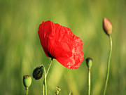 Red Poppy In Field Print by Pixel Chimp