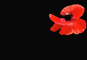 Anahi Decanio Digital Art - Red Poppy on Black by Anahi DeCanio