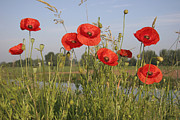 Dike Prints - Red Poppy Papaver Rhoeas Flowering Print by Gerard Schouten