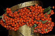 Gild Posters - Red Pyracantha Berries Poster by Phyllis Denton