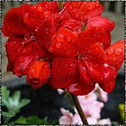 Ebsq Photo Prints - Red Rain Drops Print by Dee Flouton