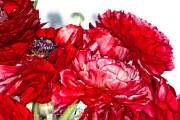 Red Ranunculous Print by Joanne Mason