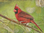 Male Cardinal Framed Prints - Red Red In The Tree Framed Print by Deborah Benoit