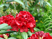 Favorites Framed Prints - Red Rhododendron Floral art prints Rhodies Framed Print by Baslee Troutman Art Prints Photography