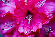 Blooms Art - Red Rhododendron by Frank Tschakert