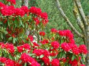 Red Rhododendron Garden Art Prints Rhodies Landscape Baslee Troutman Print by Baslee Troutman Fine Art Print Collections