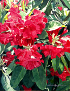 Beautiful Flowering Trees Posters - Red Rhododendrons of Dundarave Poster by David Lloyd Glover