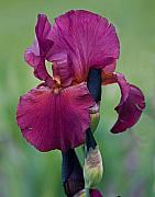 Iris Art - Red by Robert Pilkington