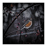 Maine Photographs Prints - Red Robin - Spring is upon us Print by Chad Tracy
