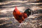 Alarm Clock Photos - Red Rooster by Charles Dobbs