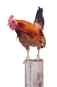 Alarm Clock Prints - Red Rooster on Fence Post Isolated White Print by Cindy Singleton