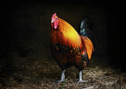 Rooster Kitchen Art Prints - Red Rooster Print by Susan Isakson