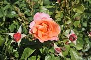 Red Rose 5 Print by Rudolf Strutz
