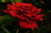 Christopher Holmes - Red Rose