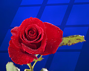 Rose Water Art - Red Rose isolated on Blue by M K  Miller