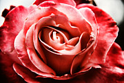 Mariola Prints - Red Rose  Print by Mariola Bitner