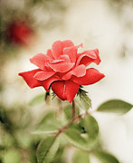 Red Leaf Prints - Red Rose Print by Natalia Ganelin