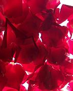 Anna Villarreal Garbis Posters - Red Rose Petals Poster by Anna Villarreal Garbis
