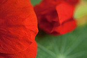 Flower Photo Prints - Red Rose Petals Print by Jose Valeriano