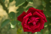 Red Pyrography Originals - Red Rose by Soumyadip Maity