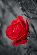 Colorkey Digital Art Metal Prints - Red Rose Metal Print by Design Windmill
