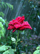 Devonne Prints - Red Rose Water Print by Karen Devonne Douglas