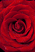 Plants Photo Posters - Red Rose With Dew Poster by Garry Gay