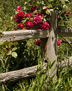 Old Fence Posts Prints - Red Roses and a Fence Print by Kenny Bosak