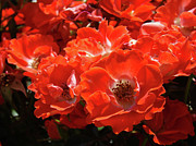 Flower Photographs Prints - RED ROSES Botanical Landscape 1 Red Rose Giclee Prints Baslee Troutman Print by Baslee Troutman Fine Art Collections