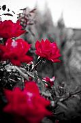 Garden Originals - Red Roses by Dustin K Ryan