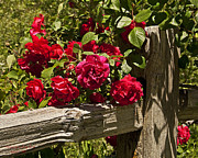 Old Wooden Fence Posts Prints - Red Roses on a Fence Post Print by Kenny Bosak