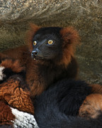 Beautiful Eyes Posters - Red-Ruffed Lemur Poster by Jeffrey Campbell