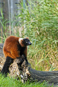 Red-ruffed Lemur Posters - Red Ruffed Lemur Poster by Design Windmill