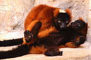 Red-ruffed Lemur Posters - Red Ruffed Lemurs Grooming Poster by Roy Williams