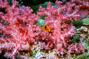 Saddleback Prints - Red Saddleback Anemonefish And Soft Coral Print by Georgette Douwma